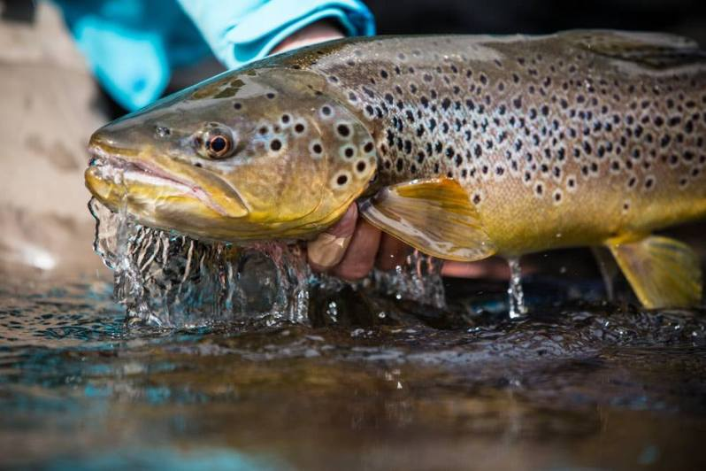 patagonia-river-guides-brown-trout-mj