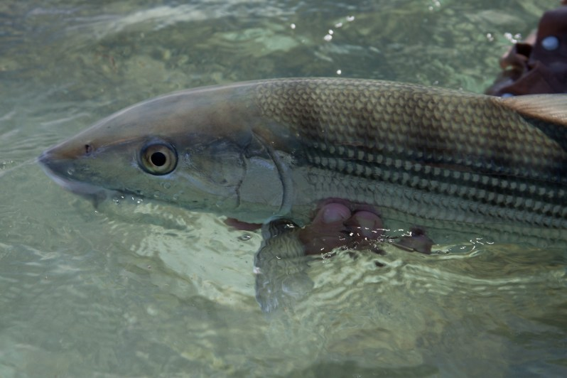 2_Bonefish Release.PC_Dr. Aaron Adams