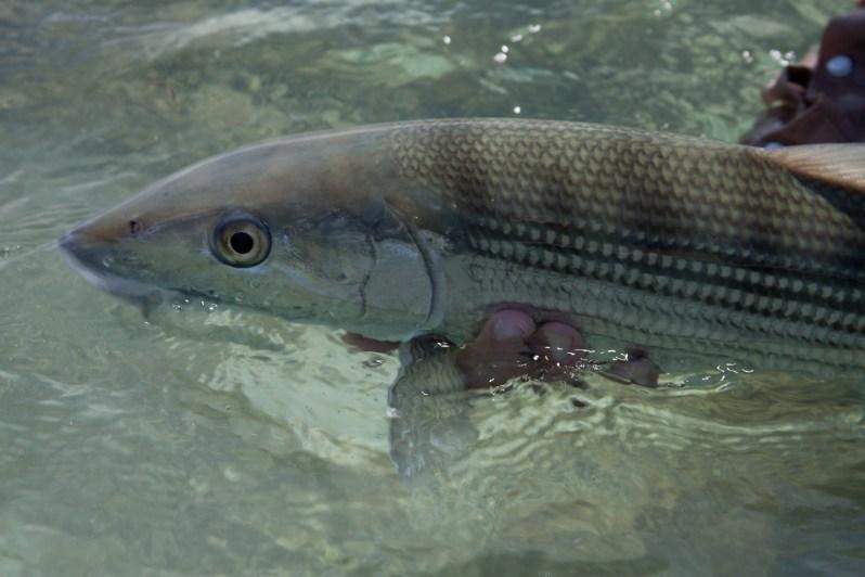 2_Bonefish Release.PC_Dr. Aaron Adams