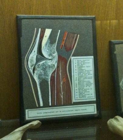 Sección de una rodilla humana