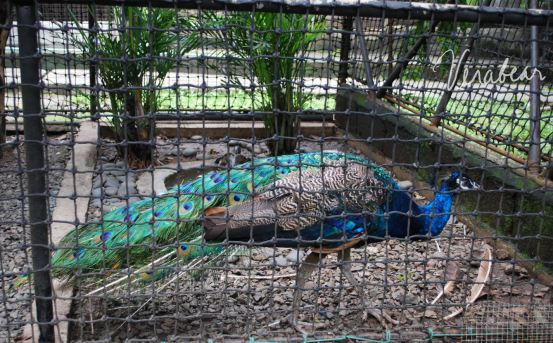 peacock-shares-the-cage-with-turtles-wildlife