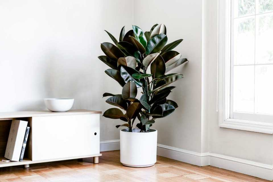 rubber tree in a pot indoor plant