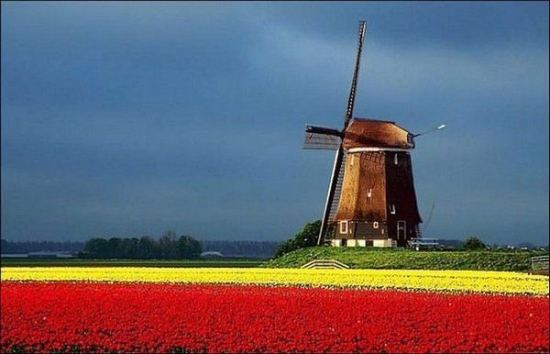 Extra-colorful spectacle of the tulip fields in the Netherlands