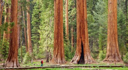 The President - the hugest tree in the world