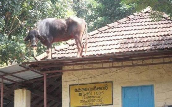 Cow on the roof