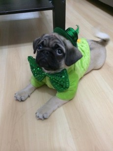 Paddy's Day Pug 3