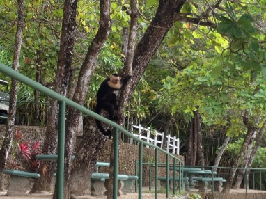 Here our monkey spy is about to hop down to get our grapes, while we were thinking wow! so cute!