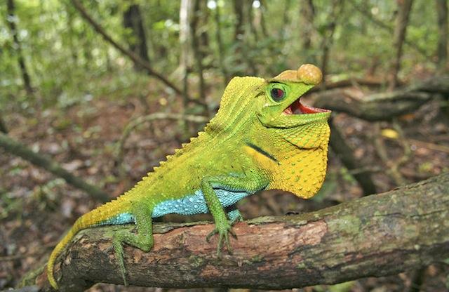 Hump Snout Lizard (Lyriocephalus scutatus) Imagen: UICN Ruchira Somaweera