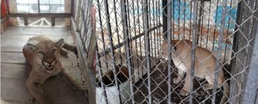 Puma capturado en calles de un pueblo de Durango. Foto: Profepa
