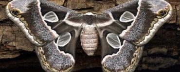 Mariposa Cuatro Espejos. Imagen de David Bygott , utilizada bajo criterios de Creative Commons