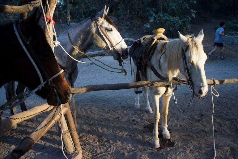 Caballos que están en renta en Los Colomos. Foto: Alejandra Leyva