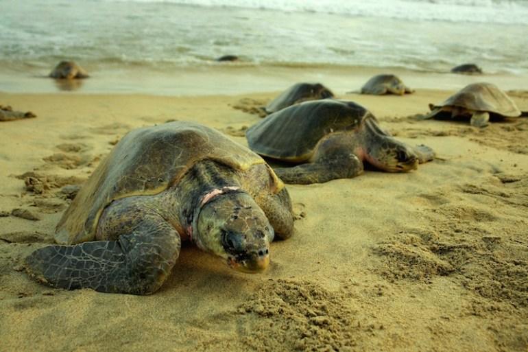 La-primera-arribada-de-la-temporada-se-presentó-el-primero-de-junio-en-la-que-se-registraron-2200-nidos-la-segunda-inició-el-4-de-julio-y-se-estimaron-12242-anidaciones-de-tortuga-Golfina. Foto: Conanp