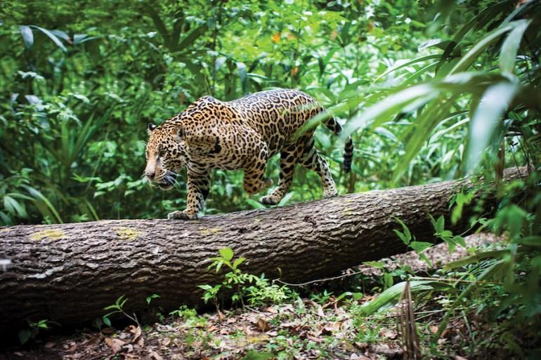 Jaguar en Calakmul. Foto de WWF y Fundación Telmex