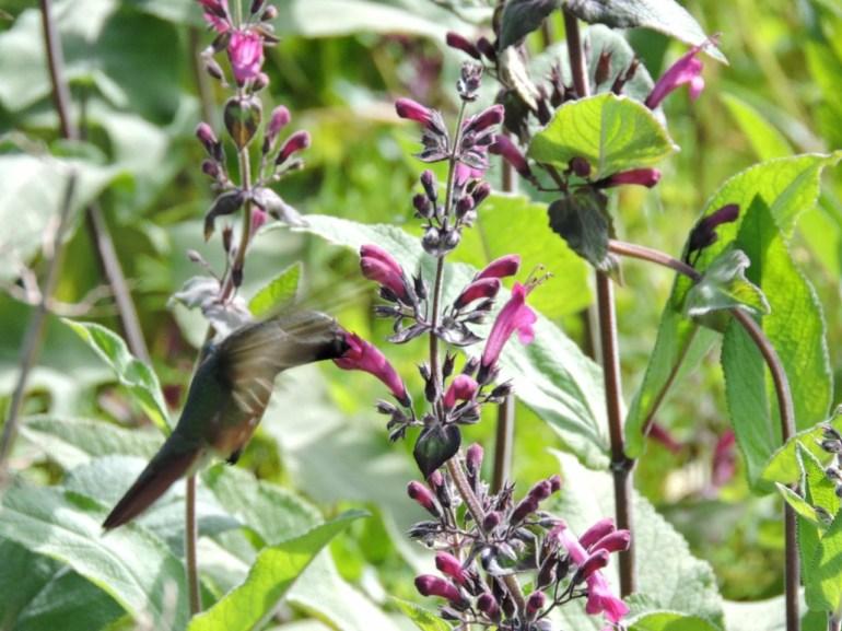 Sierra de La Laguna es un área muy importante para la reproducción de colibríes