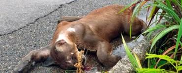 Puma atropellado cerca de Ixtapa