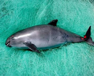 Vaquita Marina. Foto: NICKLIN MINDEN WWF