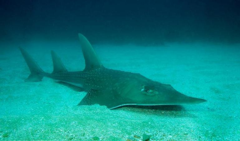 wedgefish. Foto: UICN