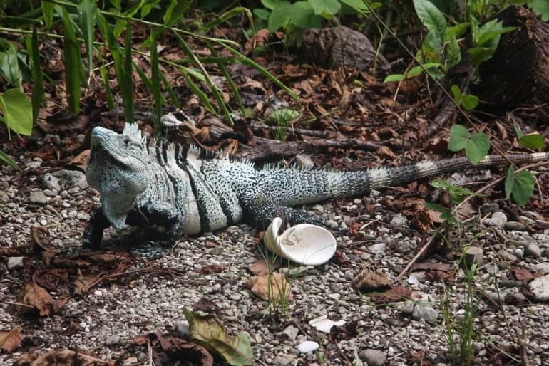 Iguana Ctenosaura. Foto: Andy Jones