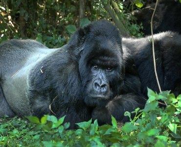 Foto de la UNEP: Gorilas en Ruanda