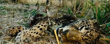 jaguar muerto en Mascota, Jalisco. Foto de Javier Chávez