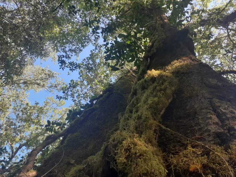 Vegetación del bosque mesófilo de montaña que también se pueden encontrar en los alrededores del Nevado de Colima. Foto: Agustín del Castillo.