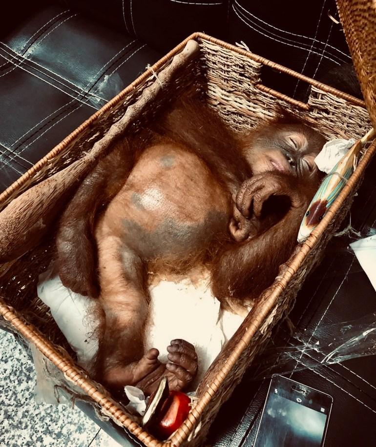 Un orangutan de 2 años de edad sedado fue decomisado en un aeropuerto de Indonesia