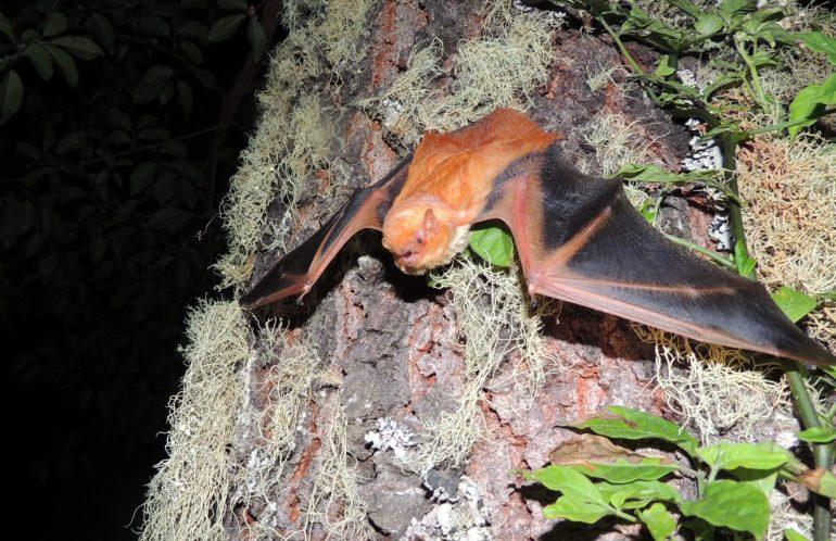 En México se tienen registradas alrededor de 140 especies de murciélagos; 72 circulan sólo en Jalisco y al menos 56 especies habitan en las regiones Sierra de Amula y Costa Sur. (Foto: CU Costa / UdeG)