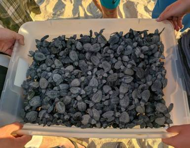 Tortugas marinas CUCSur UdeG