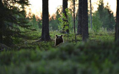 Metsälajien uhanalaistuminen jatkuu, mutta metsätalouden roolia vähätellään