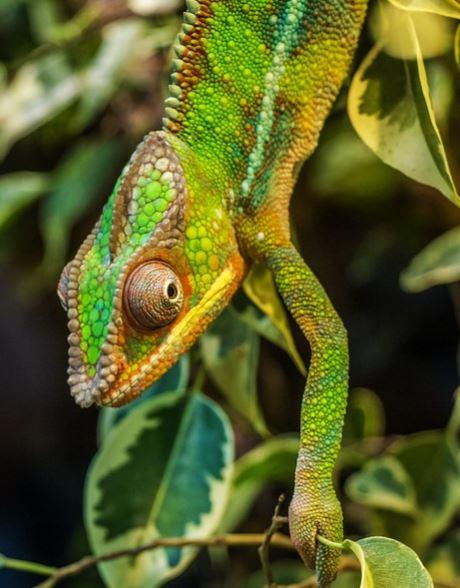 camaleón camuflado