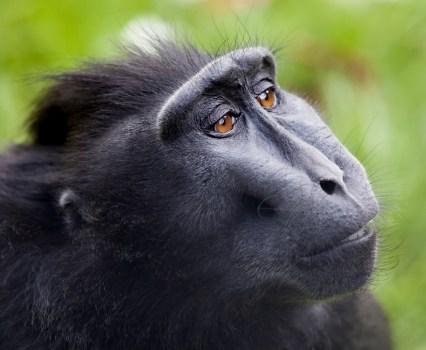 "Appeals Court Rejects PETA's ""Monkey Selfie"" Case"