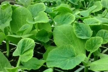 plantones-ecologicos-calabacin