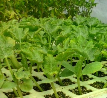 plantones-ecologicos-sandia