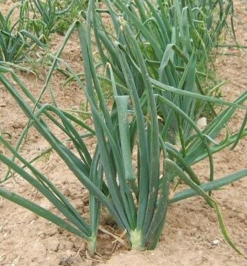 cebolla-ecologica-04