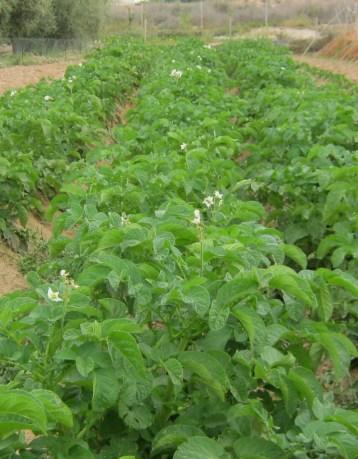 patata-ecologica-04