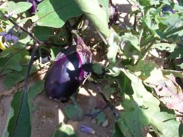 berenjena-violeta