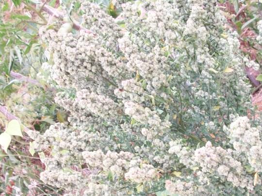 cenizo-bledo-semilla-flor-diez-mil-por-planta-de-verdad
