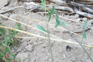hierba-helada-insecto-negro