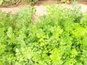 perejil-zanahoria-blanca