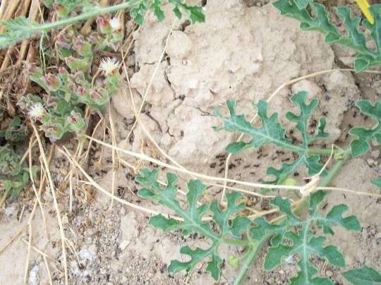 sandia-hierba-helada-hormigas