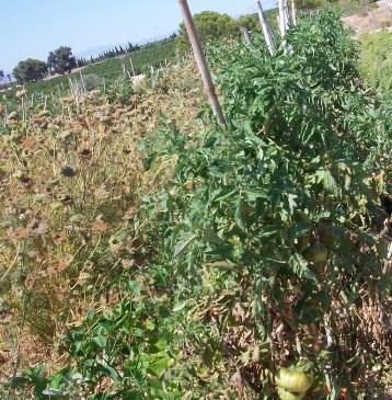 tomate-povedilla-3334