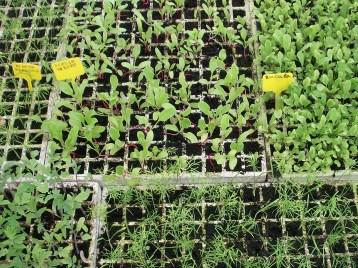 acelga-de-verano-plantones