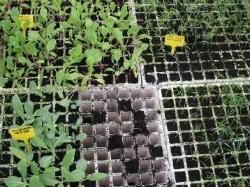 alcachofa-hinojo-plantones