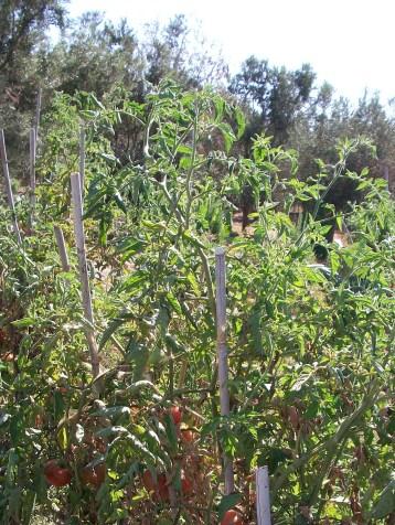 planta-tomate-montserrat-5