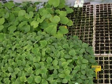 plantones-pepiono-calabacin
