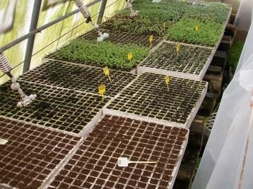 plantones-rucula-remolacha