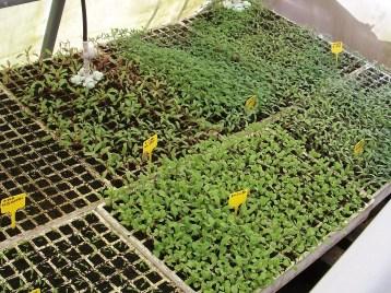 plantones-tomate-remolacha-rucula