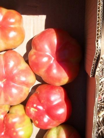 tomate-montserrat-3