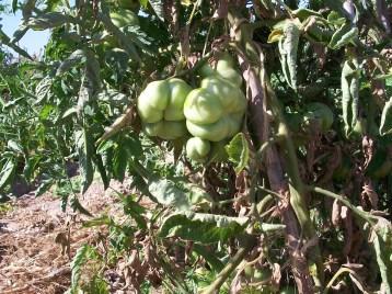 tomate-montserrat-8