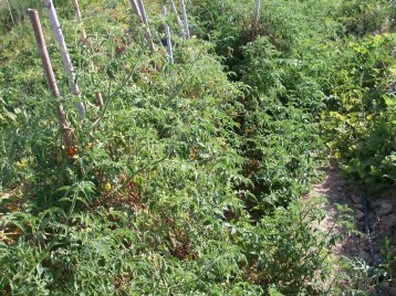 tomate-bombilla-amarilla-33100_3409